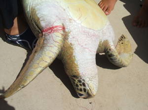 turtle caught in discarded monofilament fishing line